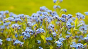 Drift Forget-Me-Nots - Feature